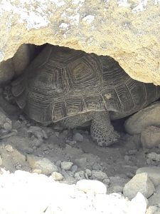 Tortoise in burrow
